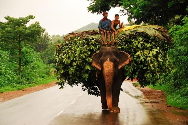 GOA_elephant01
