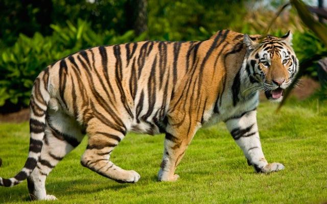 GOA_tiger01